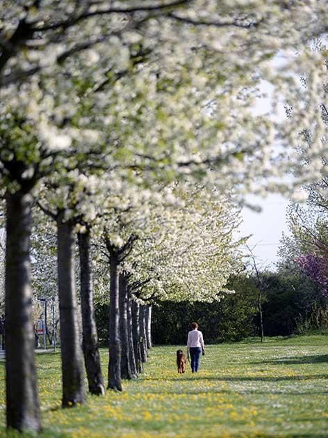 Obstbäume Blüten