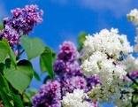 Flieder in lila und weiß