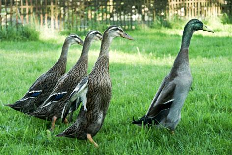 Vier Laufenten im Garten