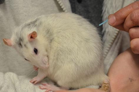 Weiße Ratte putzt sich beim Akupunktieren