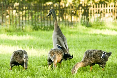 Ein Laufentenerpel und drei Enten