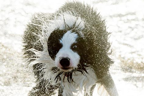 Hund schüttelt sich am Strand
