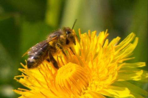 Österreichbild: Biene
