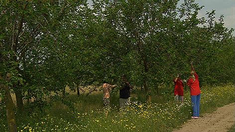 Maulbeerbäume in Frauenkirchen