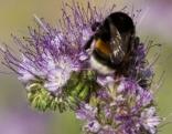 Phacelia, der Bienenfreund