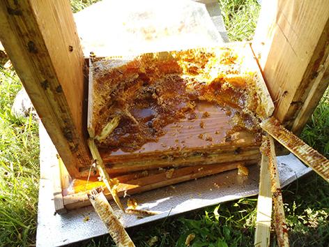 Von Bär zerstörter Bienenstock