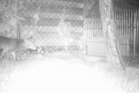 Fuchs im Garten bei Nacht