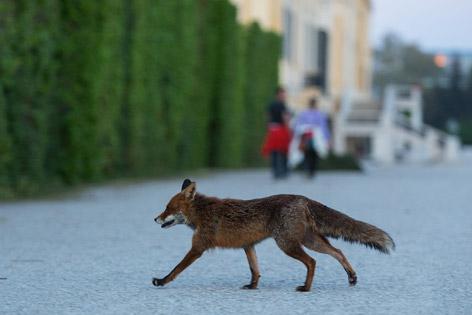 Fuchs vor dem Schloss Schönbrunn