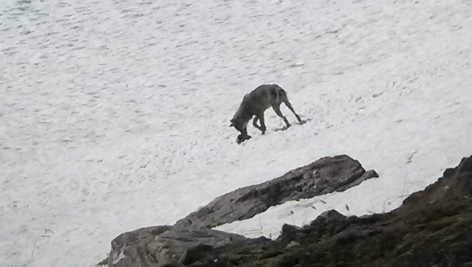 Wolf in Nationalpark Hohe Tauern