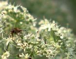 Blumenwiese Biene