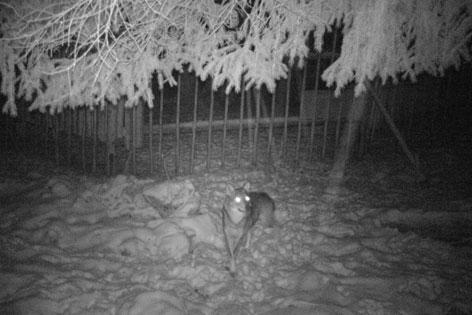 Wolf mit Fotofalle in der Nacht aufgenommen