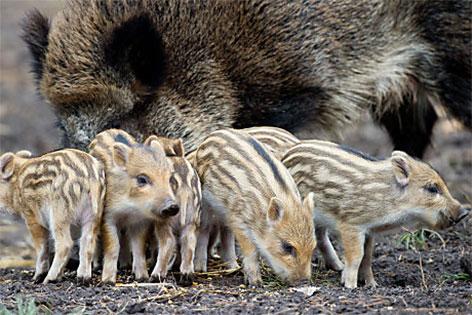Junge Wildschweine Frischlinge