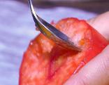 Tomaten vermehren oder essen