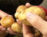 Gut gepflanzt Kartoffeln