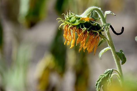 Sonnenblume Sujet Landwirtschaft