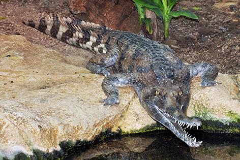 Gavial-Krokodile