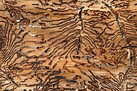 Schäden durch Borkenkäfer