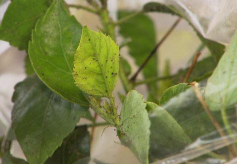 Pflanze mit Spinnmilben