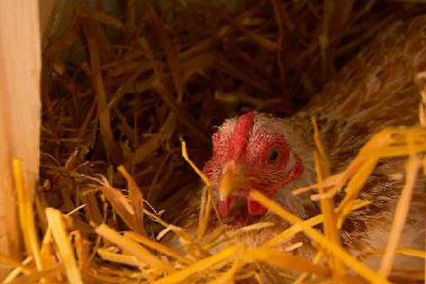 Braunes Huhn im Hühnerhaus beim Eierlegen