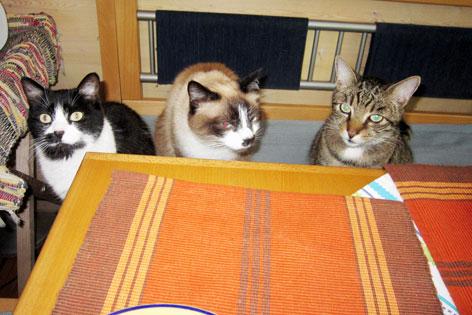 Drei Katzen vor einem Tisch