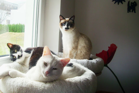drei Katzen am Fenster in ihren Körbchen