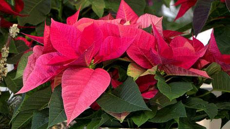 Weihnachtsstern in pink
