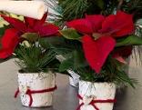 zwei kleine Weihnachtsstern dekoriert
