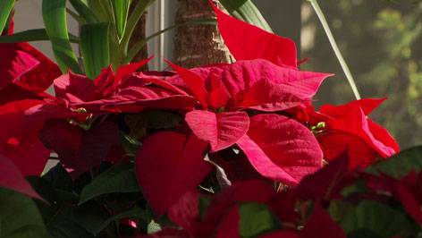 Weihnachtsstern in rot mit dunkelgrünen Blättern