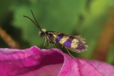 Urfalter Micropterix gaudiella