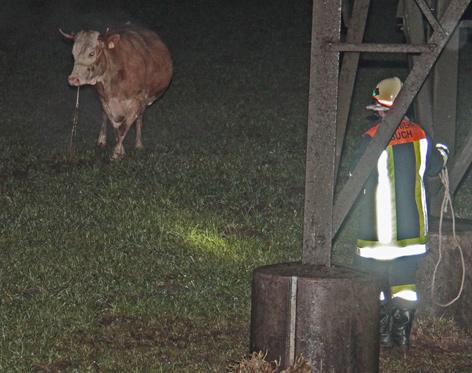 Entlaufene Kuh