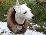 Weißer Hund mit Hundemantel und Pelzkragen