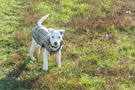 Kleiner weißer Hund mit kariertem Mantel in einer grünen Wiese