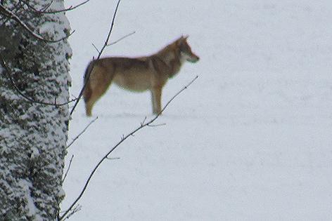 Wolf in Bad Großpertholz