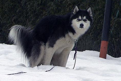 Hund verrichtet sein Geschäft im Schnee