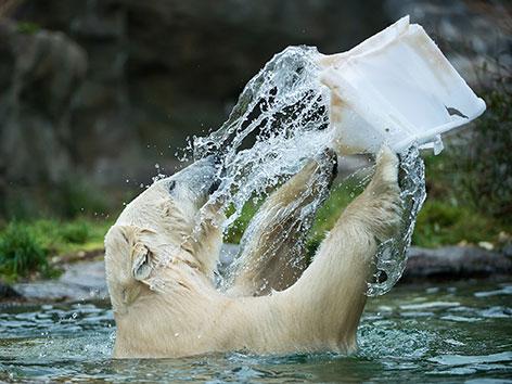 Eisbären in Schönbrunn