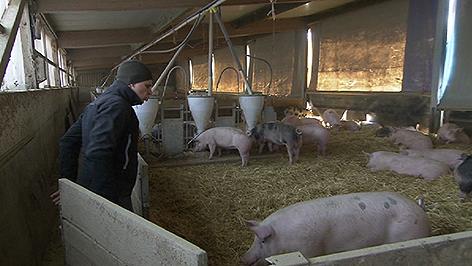 Bio Schweinezucht wirtschaftlich, Schweine, Bauernhof
