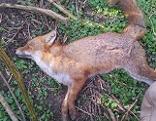Toter Fuchs Tote Tiere
