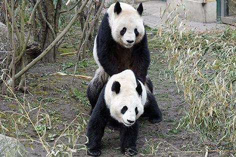 Panda Paarung