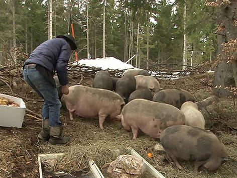 Hängebauchschweine Schweine Dobratsch
