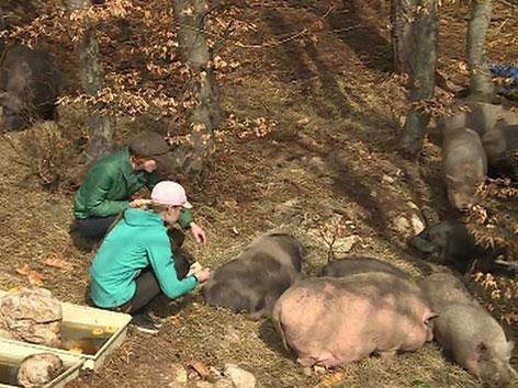 Schweine am Dobratsch