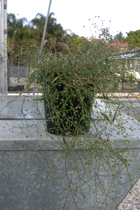 Pflanze aus der Medikament gegen MS gewonnen wird