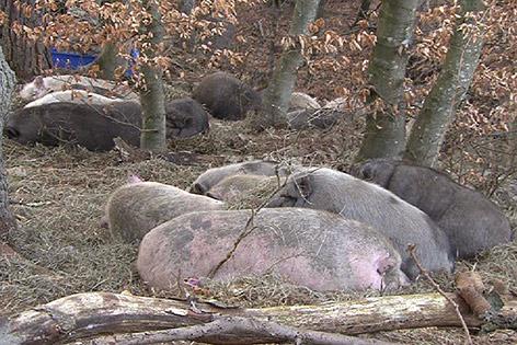 Schweine Minischweine Jagd eingefangen neue Heimat