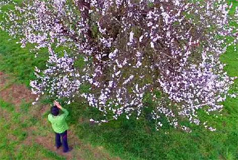 Marillenbaum Aprikosenbaum Marille Wachau Bestäubung