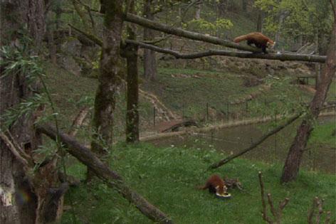 Pandas Xia und Muki