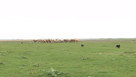 Rinderherde in Apetlon