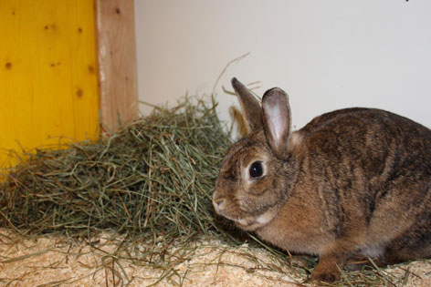 Braunes Kaninchen mit Heu