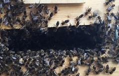 Bienen Altstadt Bienenschwarm