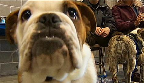 Hund Bulldogge Dogge Hundsi Hunde