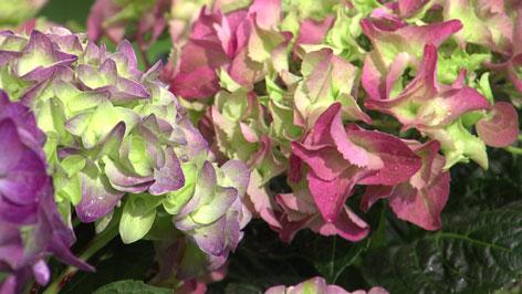 färbige Hortensien