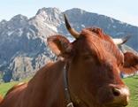 Pinzgauer Kuh Kühe Pinzgau Milch Landwirtschaft Berglandwirtschaft Bergbauer Alm